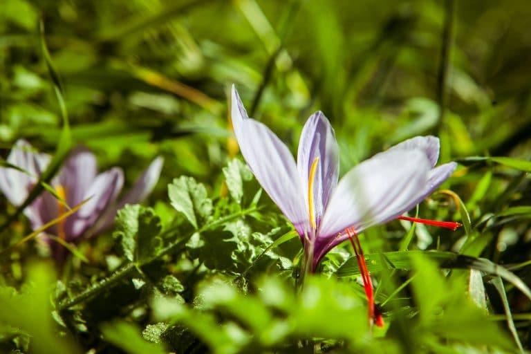 Fleur de safran avec stigmates